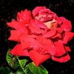 Rosa paixão