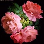 São Rosas... meu Senhor