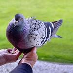 A pomba que vem comer à minha mão