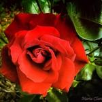 """Rosa """"paixão"""""""