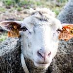 Um olhar de ovelha