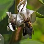 Abelha em flor de fava