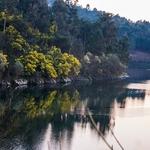 Mimosas refletidas no rio Tâmega no Inverno