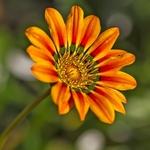Flor de Jardim