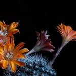 Flores de catos