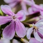 Flor de sabão