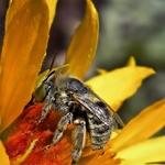Sugando o  néctar