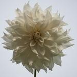Flor de dália