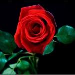 Sua Majestade, a Rosa!