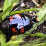 Escaravelho-Hister quadrimaculatus