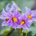 Flor de batateira