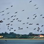 Bando de corvos marinhos