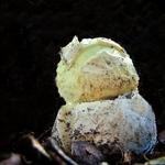 Amanita phalloides jovem