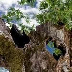 Coração da árvore
