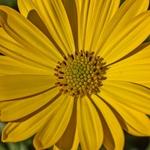 Amarelos da natureza