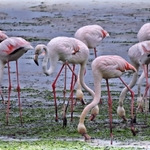"""Flamingos no """"meu jardim"""""""