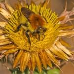 A abelha no cardo