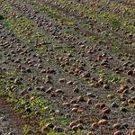 Cultivo de abóboras no Oeste.