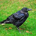 Um corvo londrino