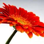 Flor em staking com 50 fotos.