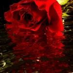 Rosa à chuva