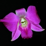 Falaenópsis