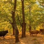 Cows in the forest