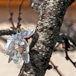 As primeiras flores (alperce)