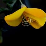 Flor de Giesta (Maia)