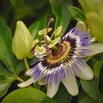 Flor do maracuja