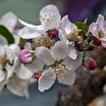 Flores de pereira