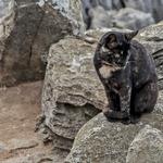 Gatinho do Cabo Carvoeiro
