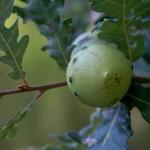 O Bogalho do Quercus