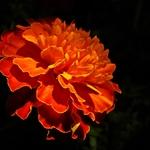 Zinia laranja