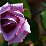 A bela rosa