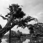 A árvore anciã.