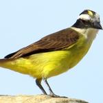 kiskadi ( Pitangus sulphuratus )