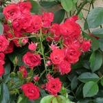 Rosinhas do meu quintal