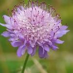Flor campestre
