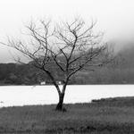Lonely tree .