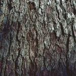 O pinheiro