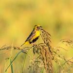 Bispo-de-coroa-amarela