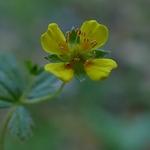Flor do monte