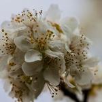 Flores de Ameixoeira