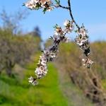 Amendoeiras em Flor