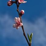 Flores de pessegueiro