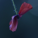 poppy in the wind___