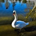 Cisne Branco.
