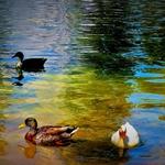 Patos no Lago.