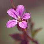 Flor do silvestre